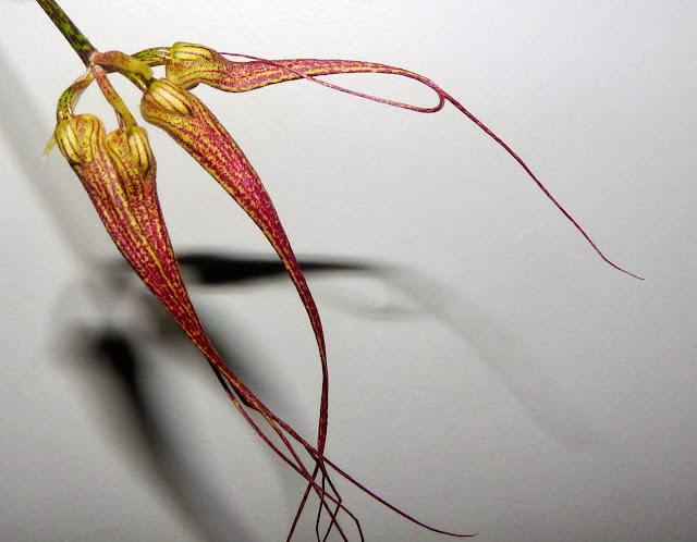 Bulbophyllum  Elizabeth Ann ' Buckleberry ' P1370275