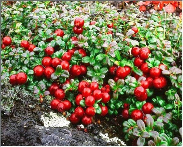 Полезные вещества в ягодах