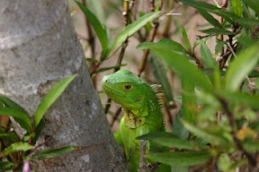 Green iguana close up