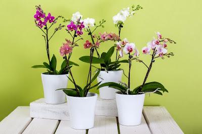 Orquídeas floridas