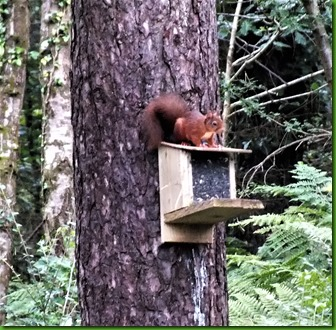 red squirrel Newborough forest August 2017 (2)