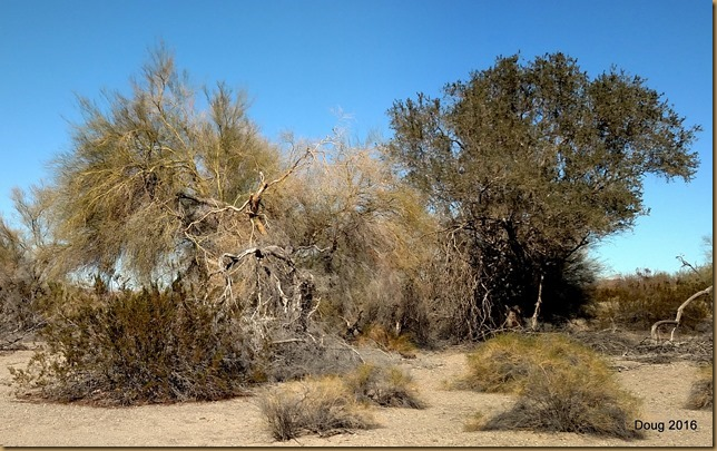 Old Palo Verde trees