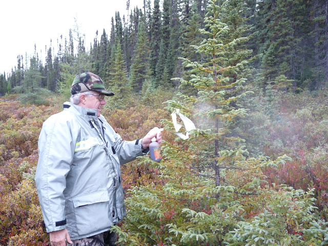 Spraying mare urine on a rag to attract Moose