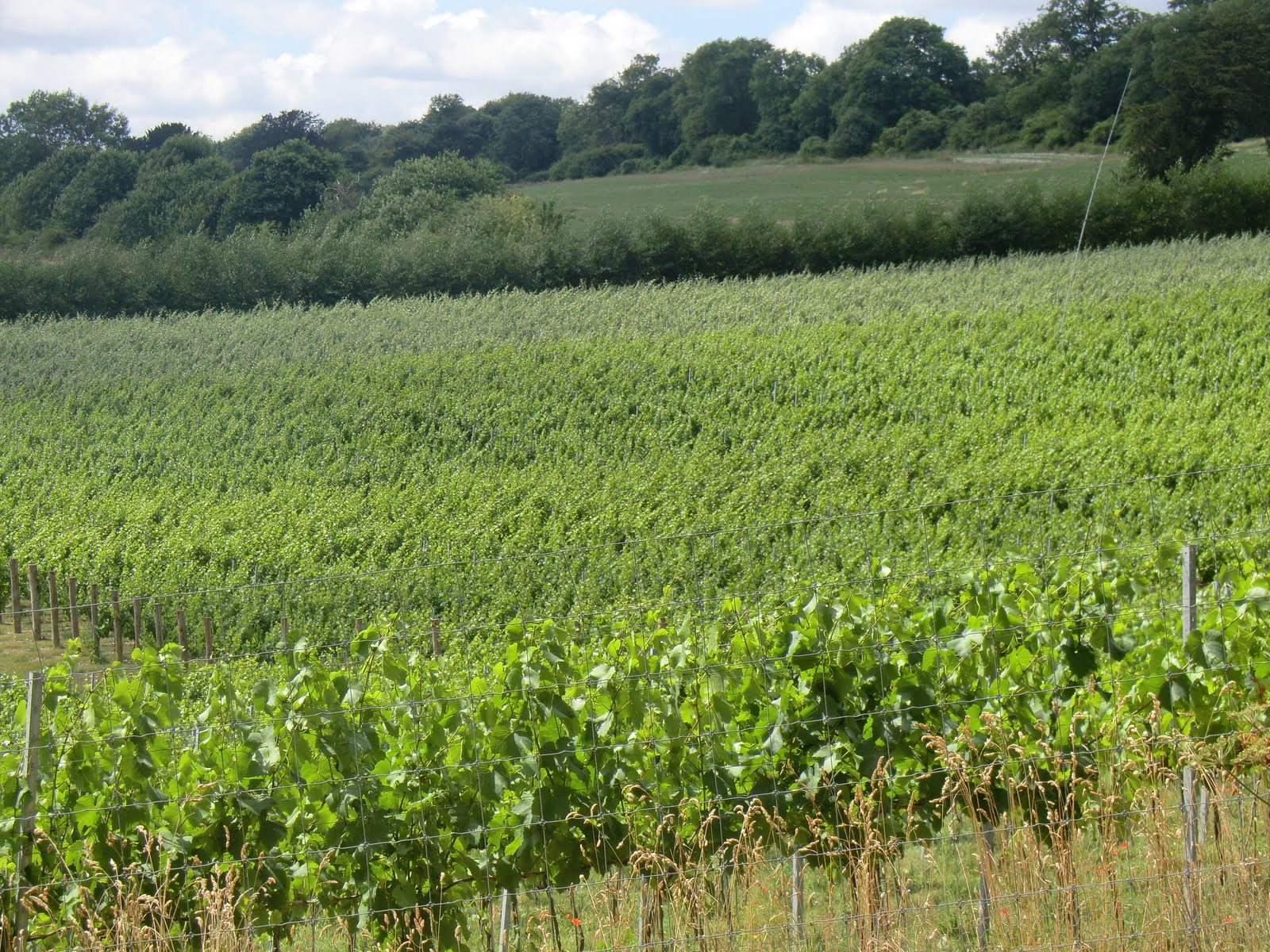 CIMG8349 Albury Organic Vineyard