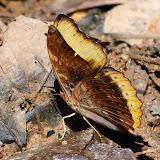 Cymothoe fumana fumana (WESTWOOD, 1850), mâle. Bobiri Forest (Ghana), 2 décembre 2013. Photo : J.-F. Christensen