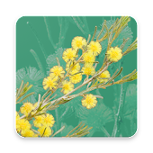 Wattle - Acacias of Australia