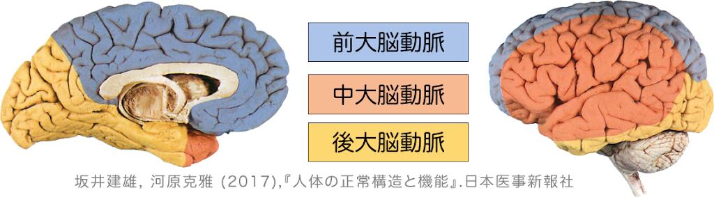 大脳動脈の分布域.png