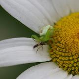 Thomisidae : Ebrechtella tricuspidata (FABRICIUS, 1775). Les Hautes-Lisières (Rouvres, 28), 15 juin 2012. Photo : J.-M. Gayman