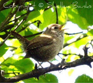 (Winter) Wren. Paris. Copyright  © Shelley Banks, all rights reserved.