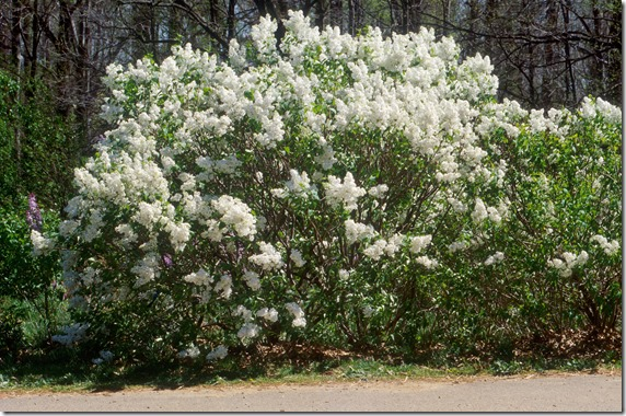 Betsy_Ross_Lilac_Large_Image[1]