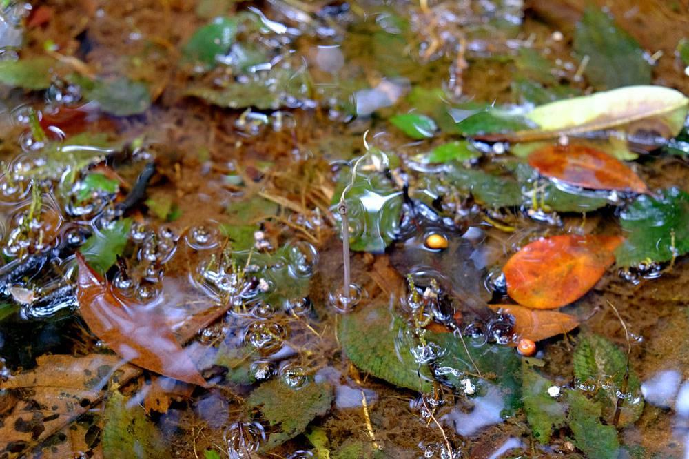 C. striolata в лесных ручьях и лужах Ваи. Все растения росли под водой. Фото: Р. Магин.