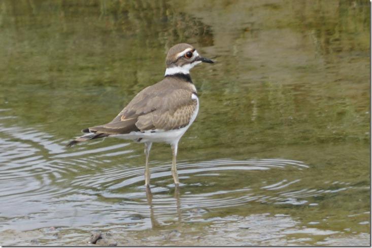 lopez shore bird 060718 00000