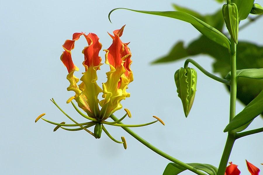 Wild flower -kas,Maharastra by Sanjay Nagaonkar - Nature Up Close Flowers - 2011-2013 ( maharastra, wild flower -kas )