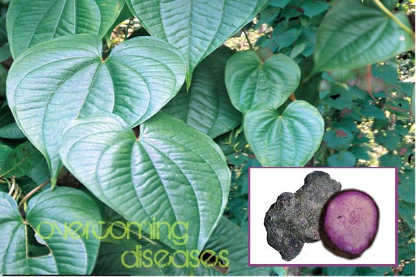 Purple Yam (Ube) for Leprosy. Gonorrhea and more ~ Overcoming Diseases