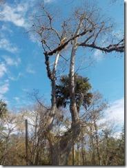Split cypress
