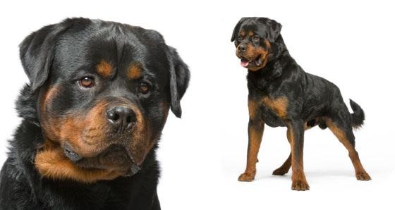 Giống chó rottweiler, chó rott Đức hay chó Rốt