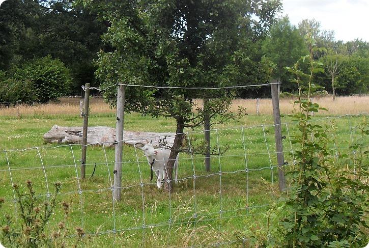 En lille ged kan gå under afspæringer om unge træer - Frederiksdal, Helsingborg, Sverige