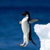 Leap of Faith, Adelie Penguin.jpg