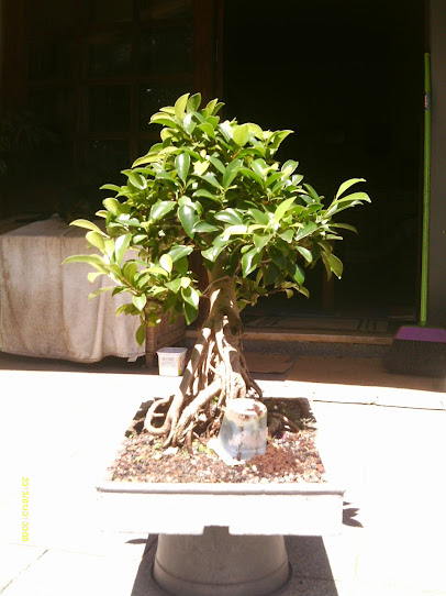Ficus Microcarpa var. Indica... - Página 2 IMAG0385