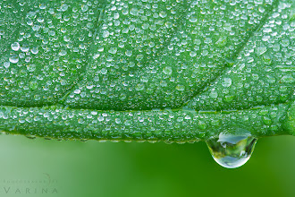 Photo: Pay attention to ME!  Tips for making a single element stand out in your photographs. ;)  When you shoot, do you take a moment to consider the most important element in your photograph? For this shot, I wanted to get in really close - and show off the beautiful, reflective droplets clinging to the leaf. I also wanted a very clear point of interest. So, I started looking for a single element that would work well for me. This little droplet was perfect. It stands out because it is much larger than the other droplets, and because it breaks the line that runs through the lower third of the image - between the leaf and the background.  Here are a few tips for isolating a single element for impact.  1. You can blur the background to allow sharply focus foreground objects stand out. Blurring the background will also help obscure potentially distracting elements, which can pull the eye away from your point of interest.  2. Look for contrast. In this case I'm using contrast of size. The large drop stands out because it is so much larger than all those little ones. You can also use contrast of shape, color, tone, and so on.  3. Break the pattern. All those tiny little droplets make a pattern in this photograph - but I've broken that pattern. Twice. First, I positioned the leaf so that it's edge cuts through the lower third of the photo. That brings your eye to the lower area right away. And then, just to be sure I have you where I want you, I've broken the pattern again by including the large droplet in the frame.  What techniques do you use to help isolate a single element within the frame? There are thousands of ways to do this. I always enjoy the challenge.  #phototips  #photographytips  #nature  #minimalism