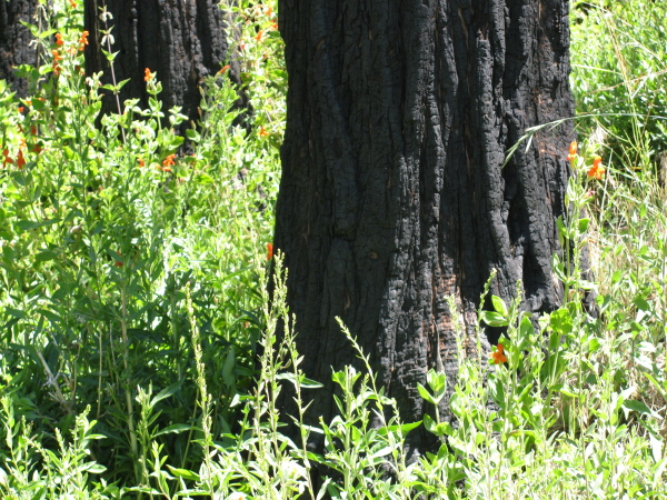 burned, living trees among orange flowers beside a stream hidden by the growth