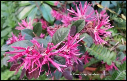 02-21-purple-fringe-bush