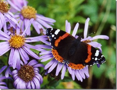 Red_Admiral_on_Mich_Daisies