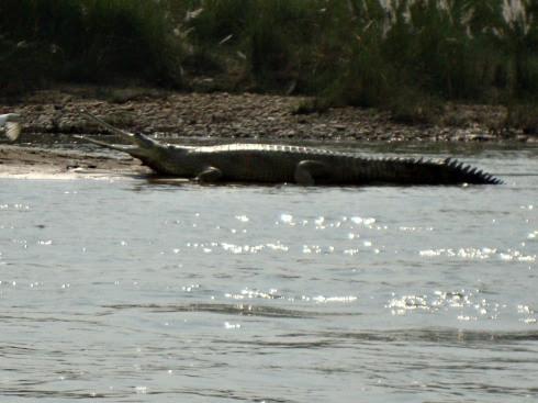 Questões e Fatos sobre Crocodilianos gigantes: Transferência de debate da comunidade Conflitos Selvagens.  - Página 2 Dsc01410mc