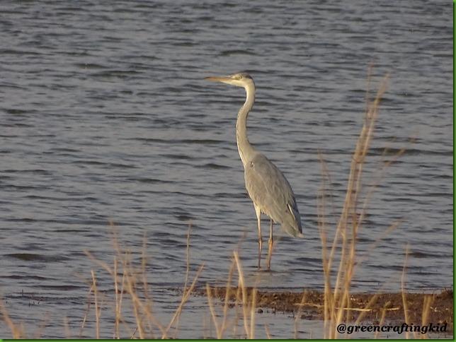 Grey Heron4