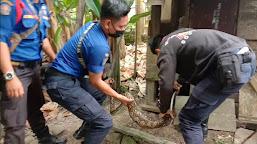 Heboh!!! Petugas Damkar Batanghari Tangkap Ular Phyton Sepanjang 3 Meter