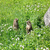 Marmots hanging out in Dose meadow on the way back down