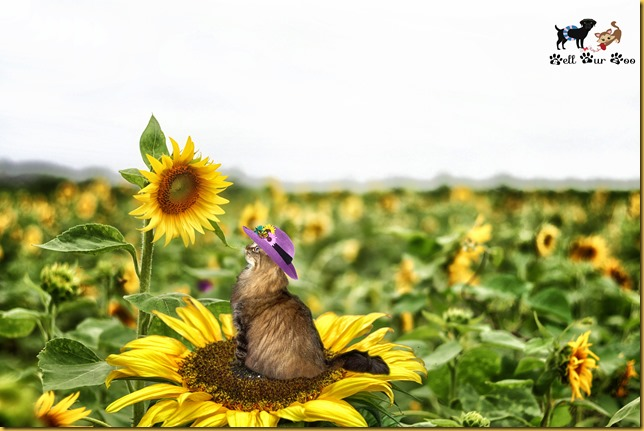Tilda in a sunflower field (© Bell Fur Zoo)