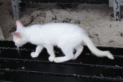 Not an albino cat