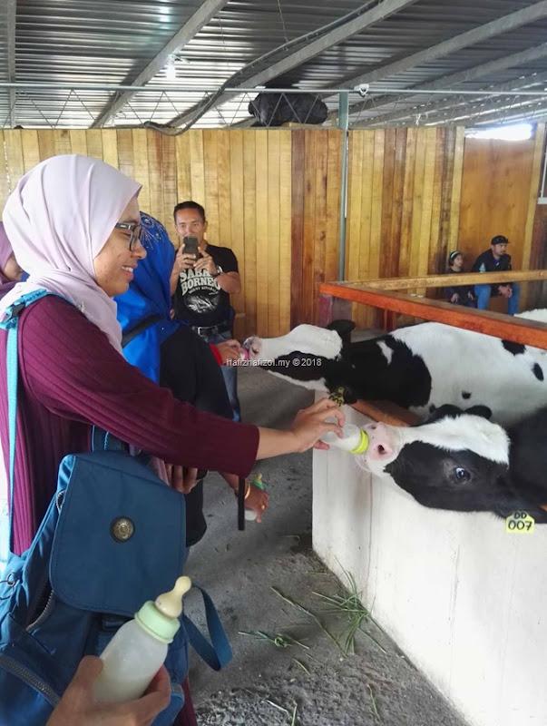 anak lembu hisap susu botol di dairy farm kundasang