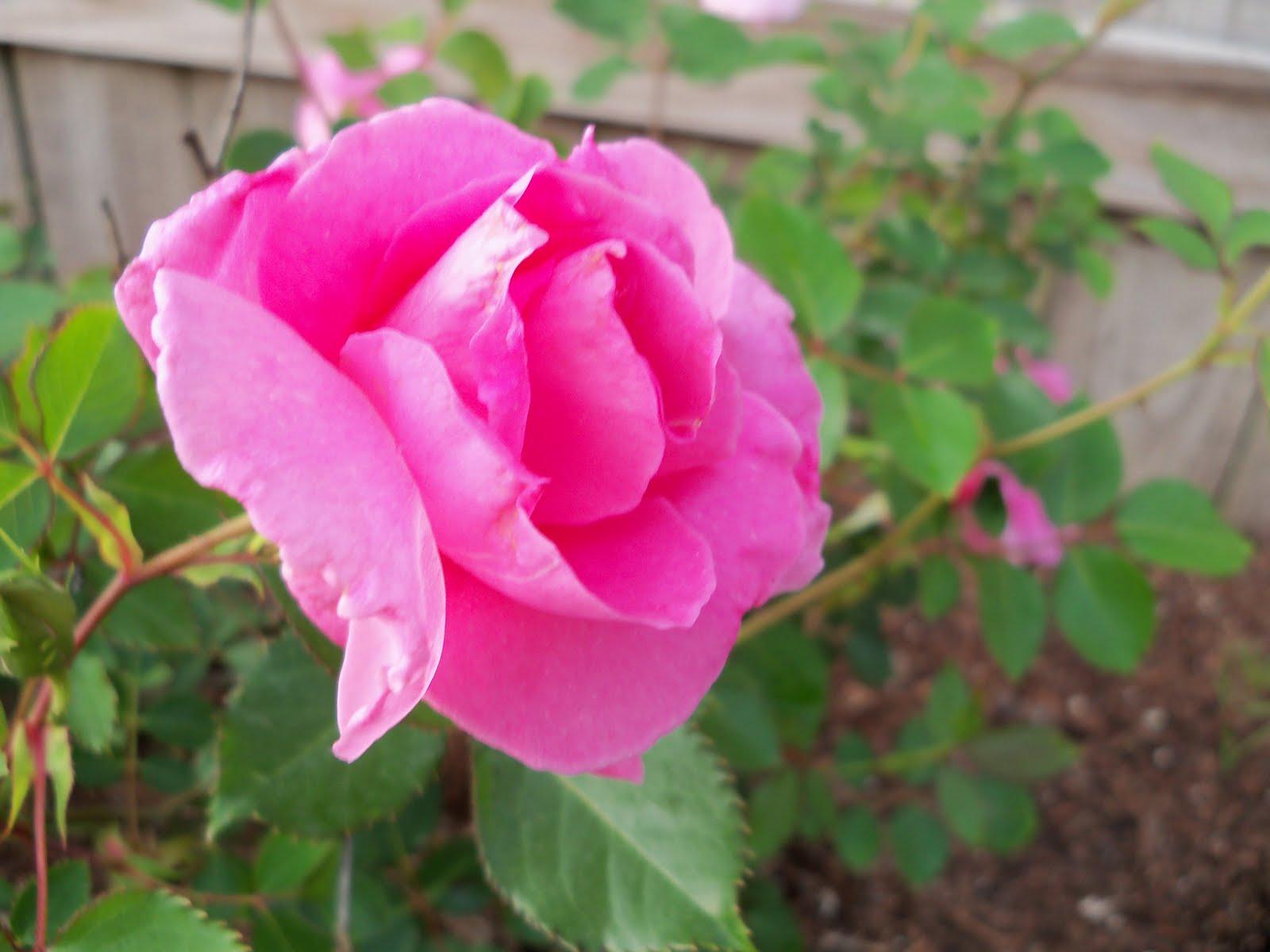 Gardening 2010 - 101_0953.JPG