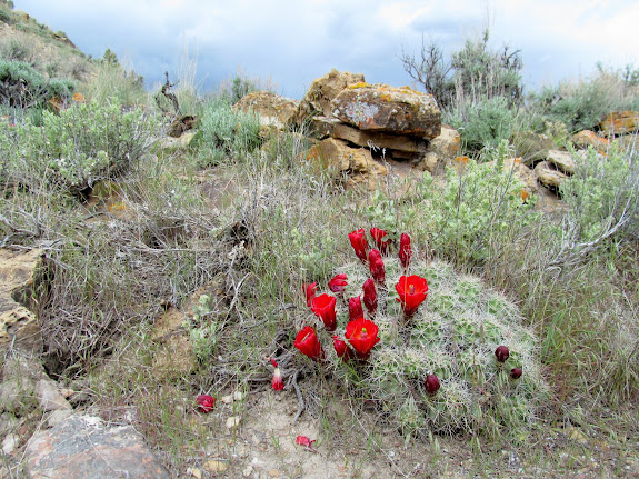 Claret Cup Cactus near a pit house
