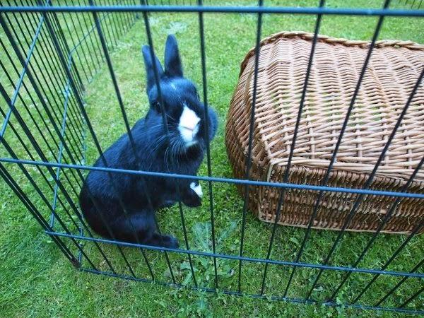 Prince, petit lapin noir-[adopté] Prince8-c4d8d