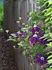 Clematis and weathered fence
