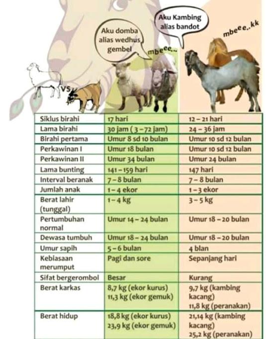 Perbedaan Antara Kambing dan Domba