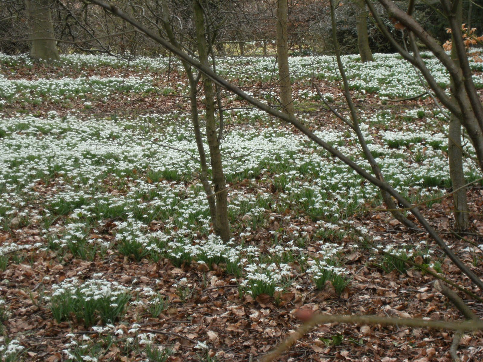 1003130006 Snowdrops in wood near Little Missenden