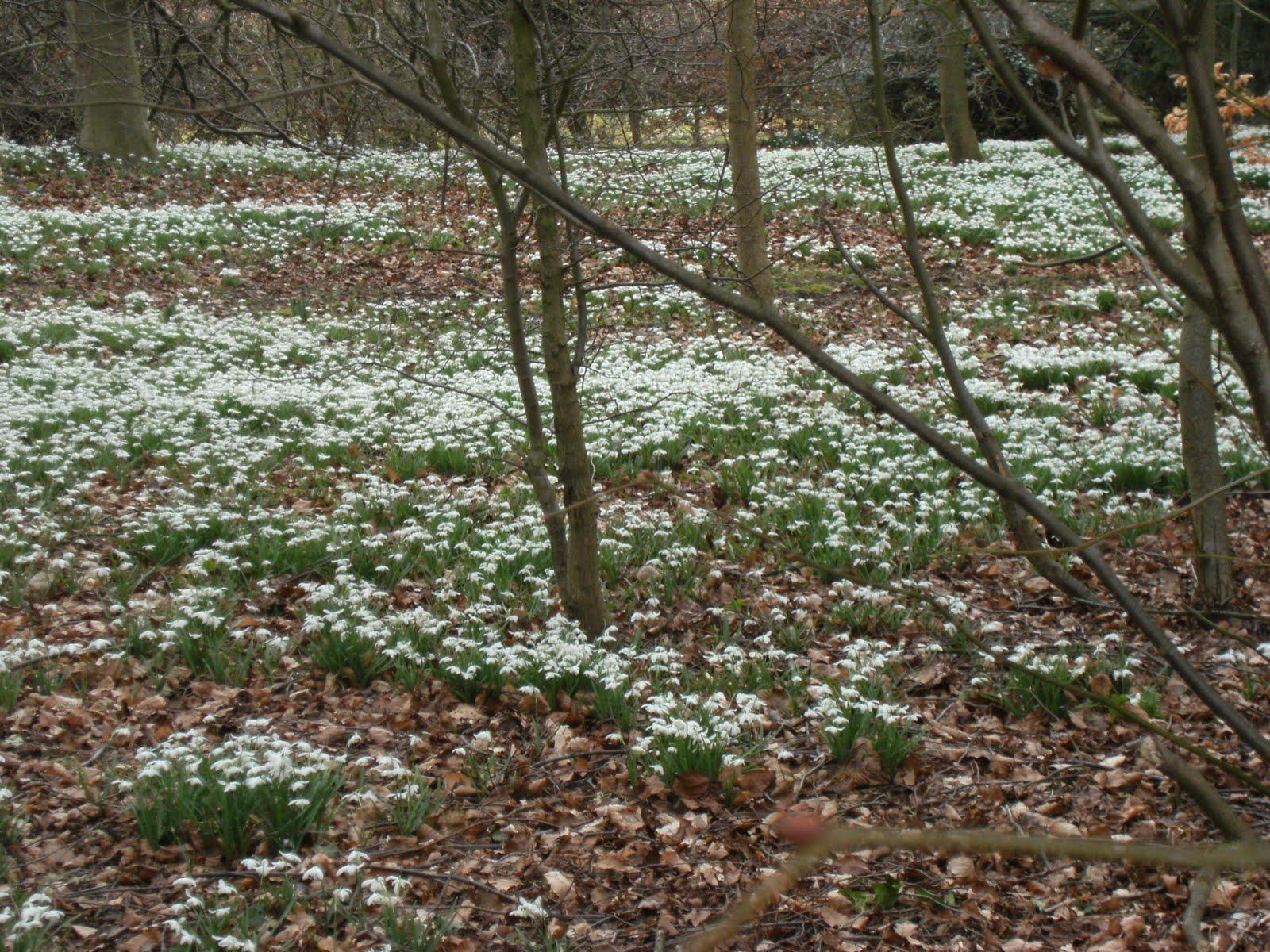 1003130006 Snowdrops in wood near Little Missenden