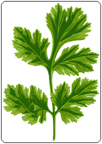 คำศัพท์ภาษาอังกฤษ_coriander_Vegetable