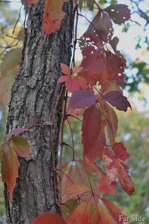 Parthenocissus inserta or Woodbine