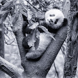 Chengdu's Giant Pandas