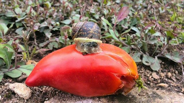 escargot tomate