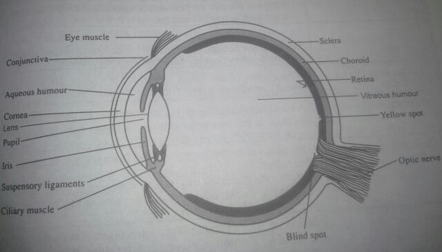 The human eye awaycande the parts of the human eye and their functions 1 eyelid and eyelash eyelid opens and closes under voluntary or reflex action to protect the eye from ccuart Gallery