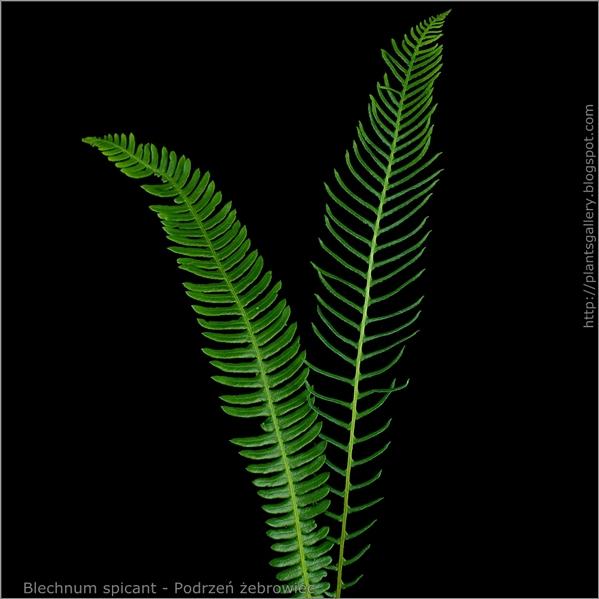 Blechnum spicant - Podrzeń żebrowiec liść i liść zarodnionośny