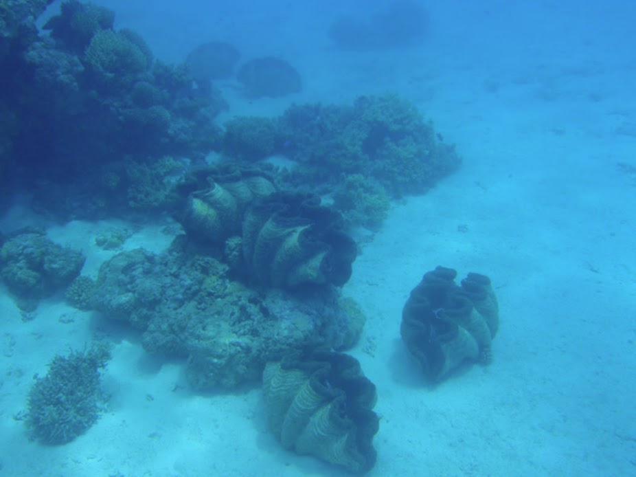 Tridacna gigas (Giant Clam), Non-Native, Aitutaki.
