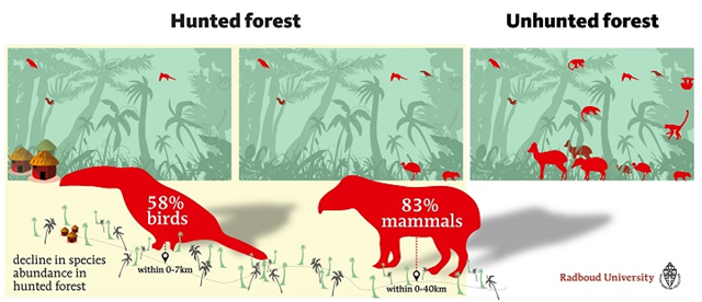 Decline in species abundance in hunted forest, reported in 'The impact of hunting on tropical mammal and bird populations', by Benítez-López, et al., 2017 / Science. Graphic: Radboud University