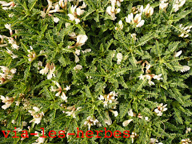 Astragale de Marseille Astragalus tragacantha.jpg